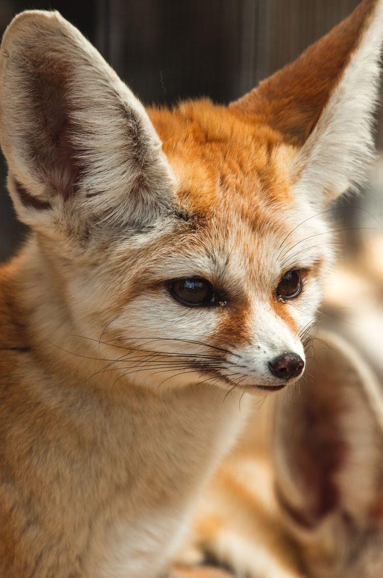 And Other Animals Pet Fox Fennec Fox Pet Fennec Fox