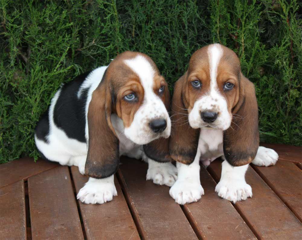 Basset Hound Basset Hound Puppy Hound Puppies Basset Dog