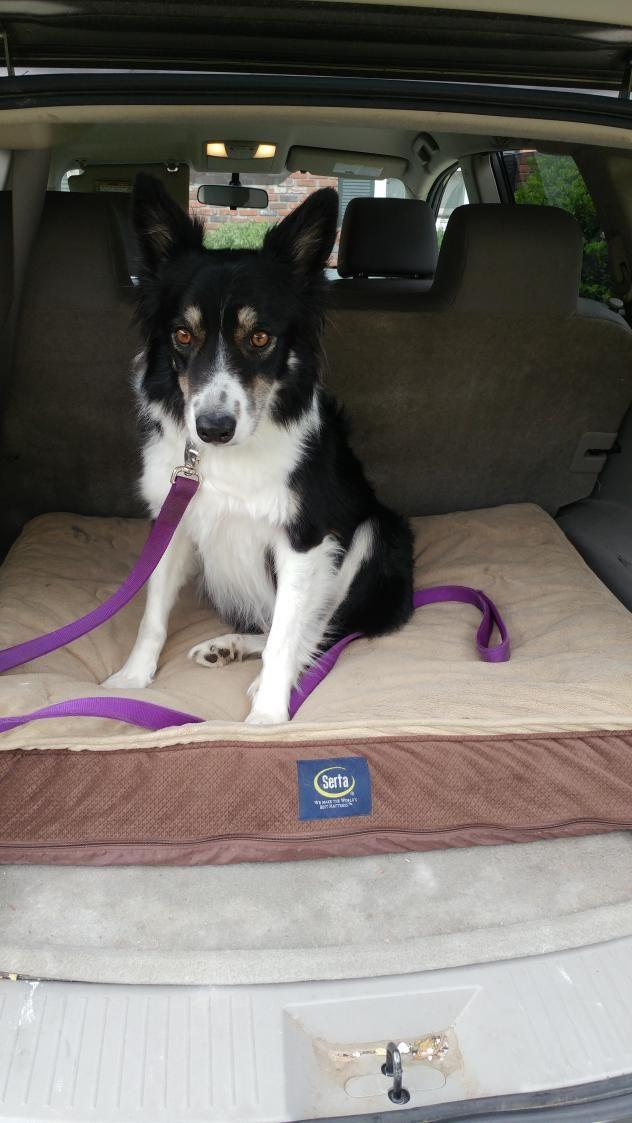 Adopt Priscilla On Dogs Border Collie Rescue Border Collie