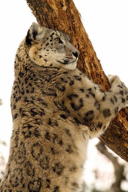 """the-wolvesden: """" Gorgeous snow leopard. """"   Wild cats ..."""