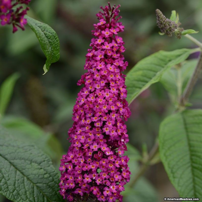 Butterfly Bush Magenta Produces Hot Pink Blossoms That Attract Butterflies And Pollinators To The Garden This Plant Is Fr Butterfly Bush Plants Spring Plants