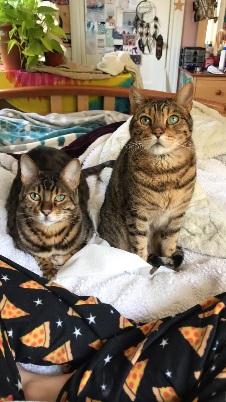 The Only Reason They Re Both Looking In The Same Direction Is Because I Had A Bagel Cute Cats Kittens Kittens Cutest Beautiful Cats