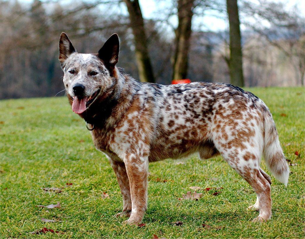 rare dog coat colors - Google Search | ANIMALS I LOVE ...