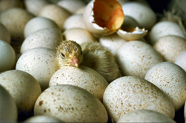 Learn how a chick develops inside an egg with this animated, G-rated video. #backyardchickens