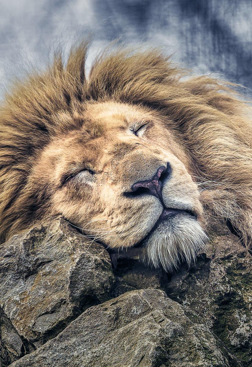 The Lion Sleeping : sleeping, Comfy, Lynham), Sleeping, Animals,, Family,, Animals, Beautiful