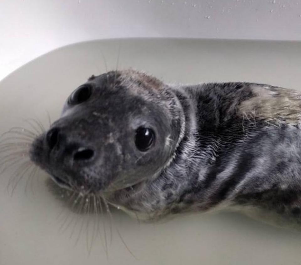 Meet Tarragon A Grey Seal Pup At Seal Rescue Ireland Seal Pup Grey Seal Pup