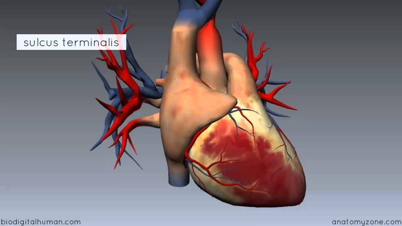 Anatomy zone watch now ducom gross anatomy pinterest anatomy zone watch now ccuart Choice Image