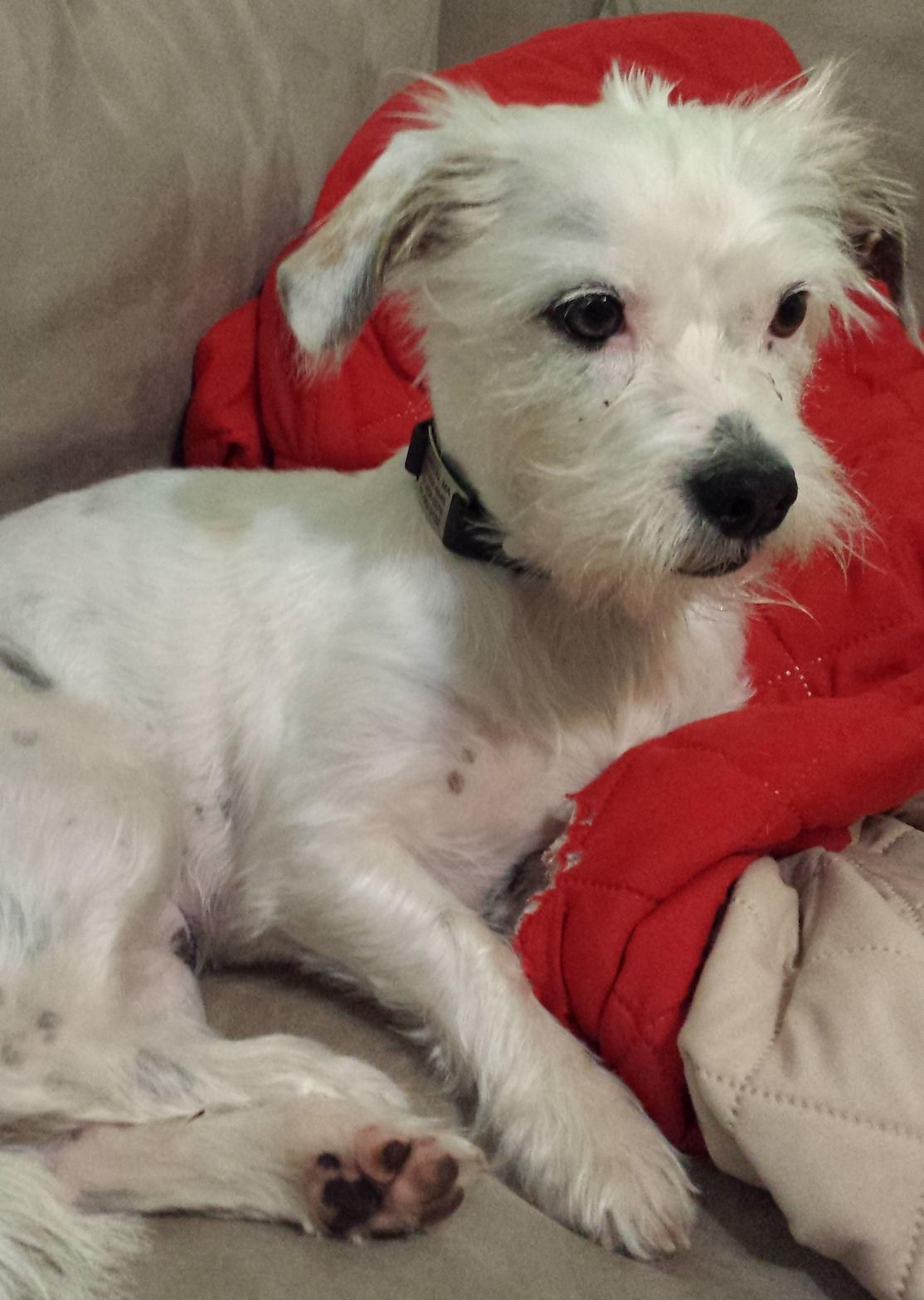 Adopt Lincoln on Terrier mix dogs, Terrier mix, Pets