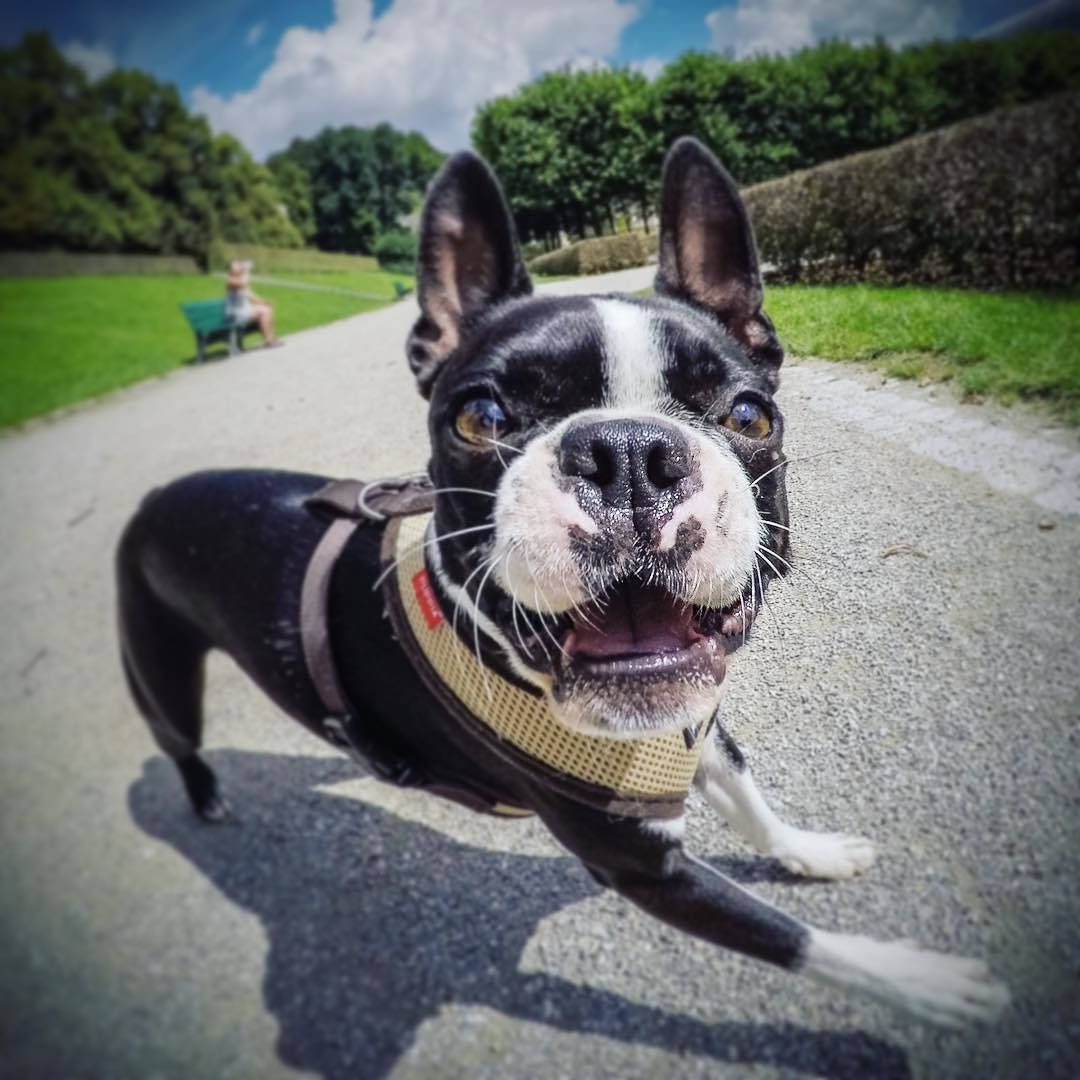 HAPPY #bostonterrier #dottiethebostie #munichdogs #dogsofinstagram #hofgarten #münchen #happydog #puppia #puppiaharness #hunde