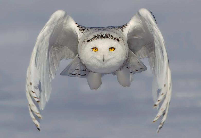 A snowy owl glides inches above a snowplain in a hunt for food.