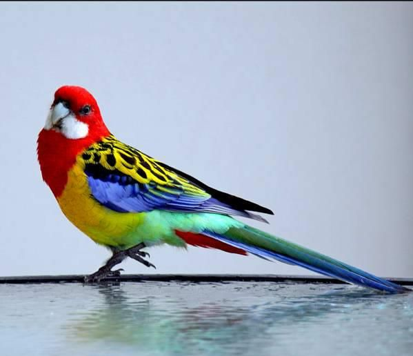 Pretty Bird The Eastern Rosella Is A Parrot Native To Southeast Australia And Tasmania And Have Been Introduced To New Pretty Birds Beautiful Birds Pet Birds