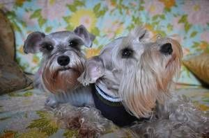 Snauzer And Lola Is An Adoptable Schnauzer Dog In Ardsley Ny Miniature Schnauzer Pair Of Fantastic Dogs Snauz Schnauzer Dogs Miniature Schnauzer Dog Adoption
