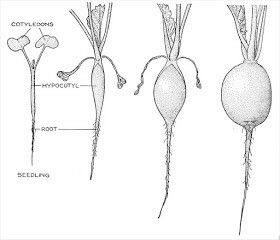 diagram of a radish plant diagram of a potato plant