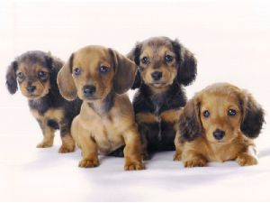 Dachshund Puppies Oh Dachshund Puppies Akc And Ckc Miniature