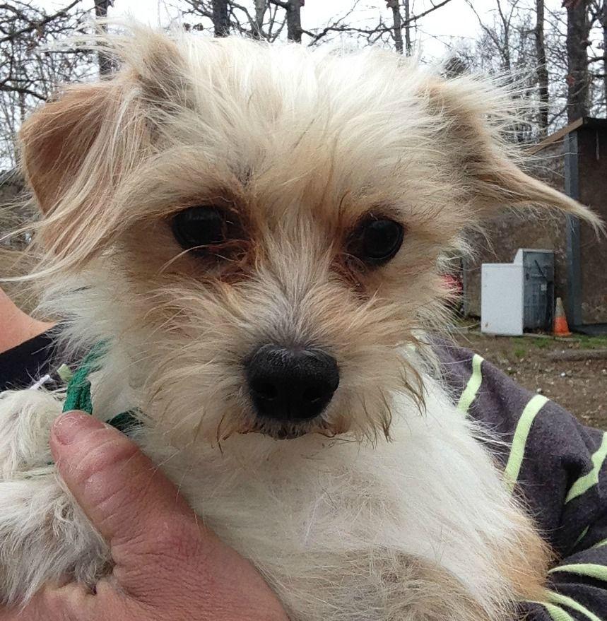 Malchi dog for Adoption in Alexander, AR. ADN526775 on
