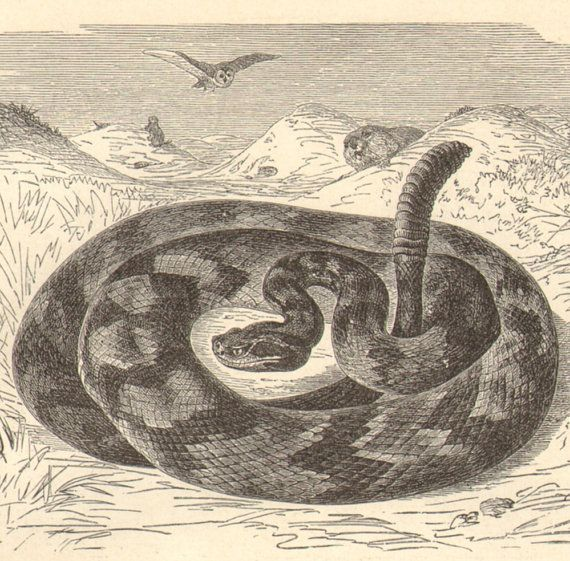 Original, beautifully detailed two-sided engraving of snakes.    The print shows: 5. South American Rattlesnake or Tropical Rattlesnake -