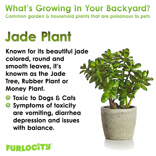 Can Cats Eat Eggs Cancatseatbread Product Id 1595811665 Jade Tree Rubber Plant