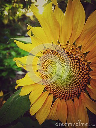 Vintage Sunflower Background Flower Closeup