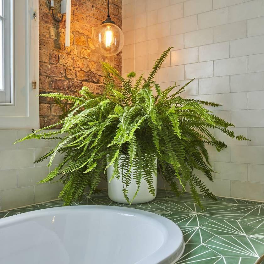 Boston Fern — Urban Gardens, delivered Patch Bathroom