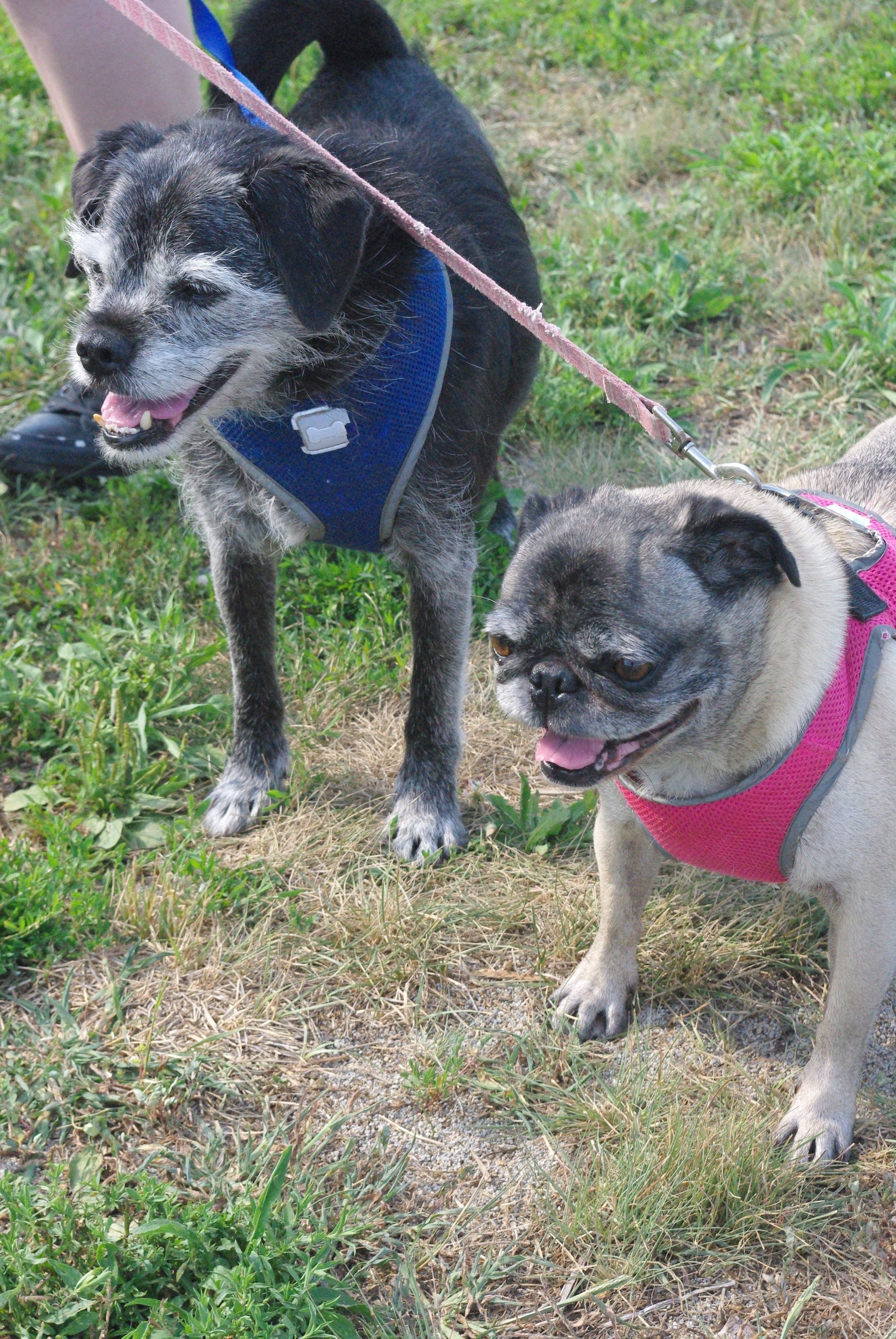 Adopt Latte And Humphrey On Humane Society Pets Pugs