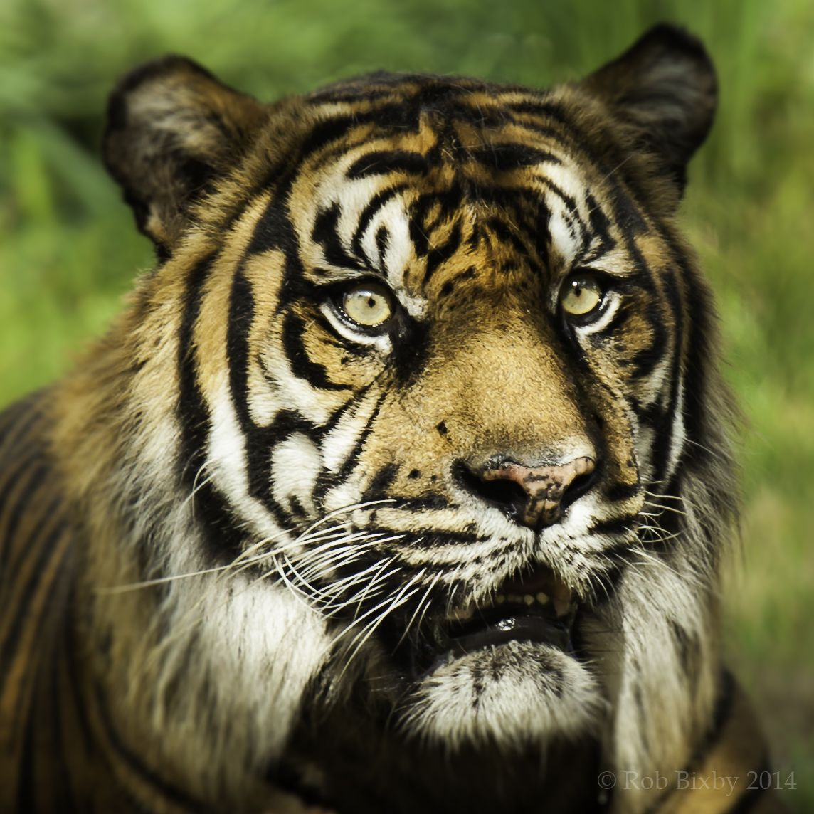 Berani, a male Sumatran Tiger. At the Jacksonville Zoo and Gardens ...