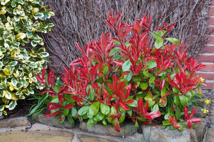 Epic gartenpflanzen glanzmispel baum photinia