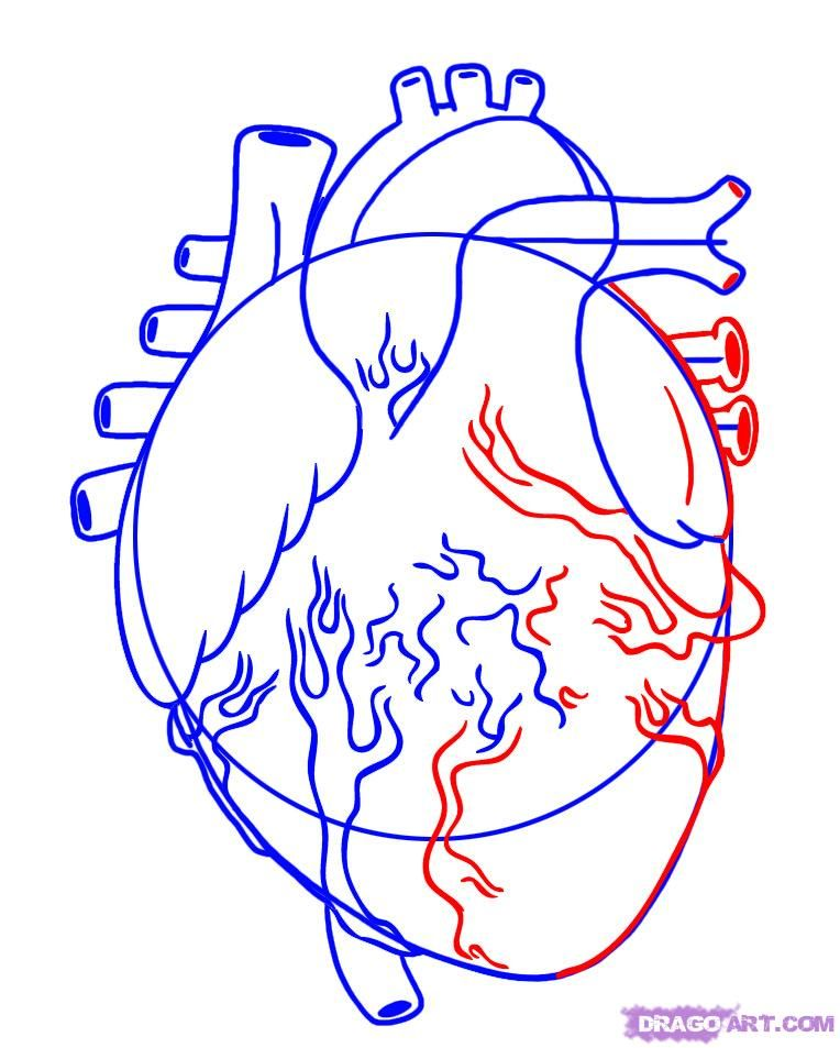 Step 4 How To Draw A Human Heart Heart Coloring Pages Human Heart Heart Drawing