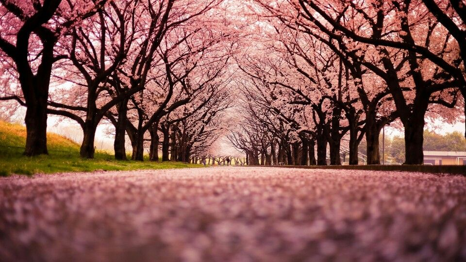 Butifull Cherry Blossom Wallpaper Cherry Blossom Tree Cherry Blossom Background Autumn cherry blossom wallpaper
