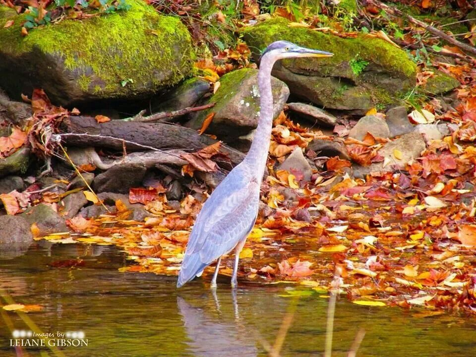 Blue Heron in Panther Wildlife Management Area, McDowell County, West Virginia by Leiane Gibson