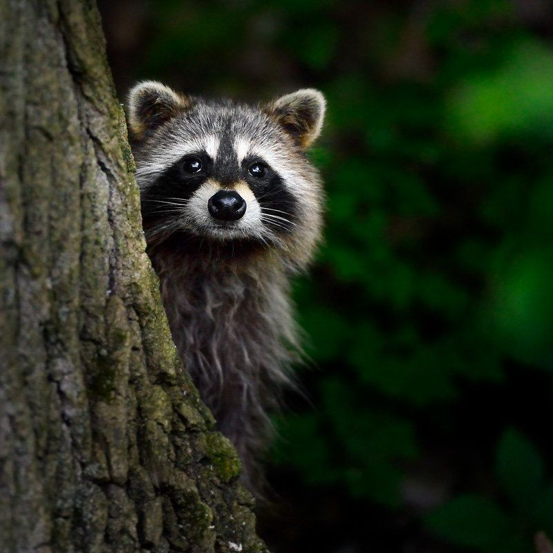 Wanna Play Hide Go Seek Baby Raccoon Animal Symbolism Raccoon