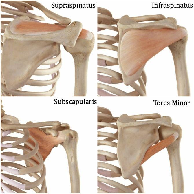 Rotator-Cuff-Anatomy | Sweat Shop | Pinterest | Rotator cuff ...