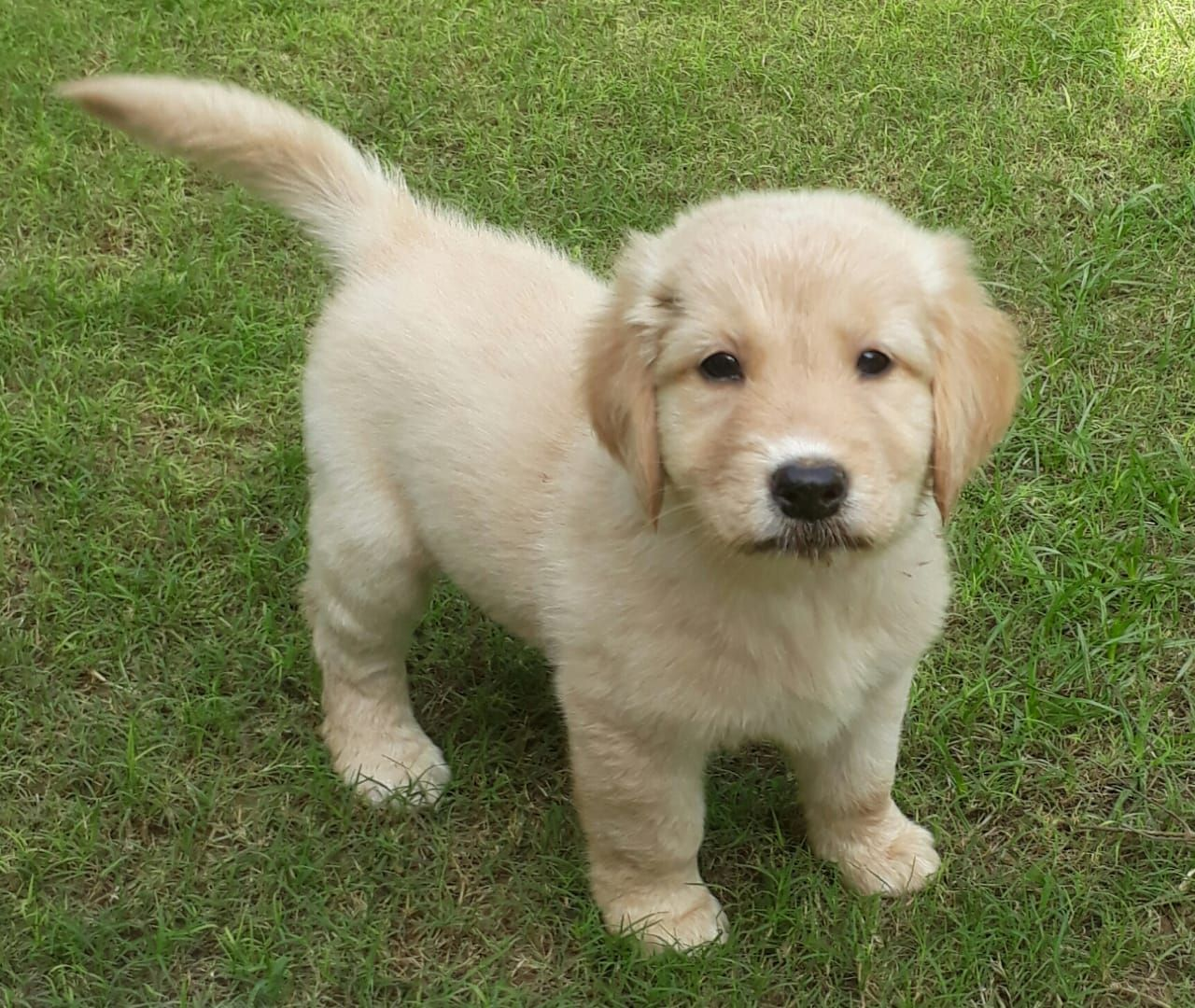 Golden Retriever Puppy Cute Dogs Puppies Cute Animals