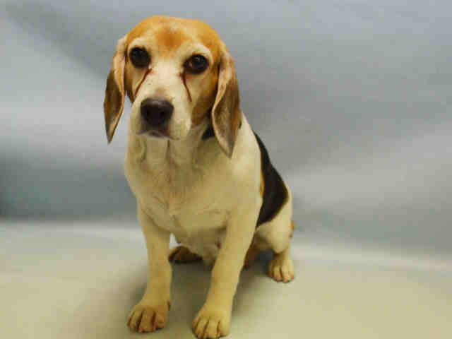 A1068068..Magy..aka ..Lucy ..FEMALE, WHITE / BROWN, BEAGLE, 7 yrs STRAY – PRE RTO, HOLD FOR RTO Reason STRAY Intake condition EXAM REQ Intake Date 03/20/2016, From NY 10030, DueOut Date 03/23/2016