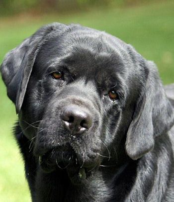 Ch Morgan S Set Em Joe At East Hill Lab Dogs Labrador Dog