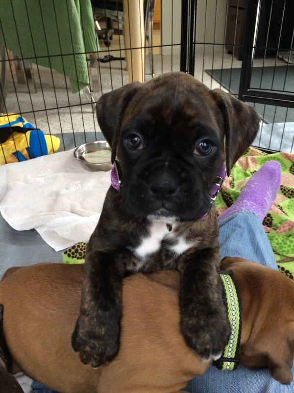 Pierson Family Boxers Blog Boxer dogs brindle, Boxer