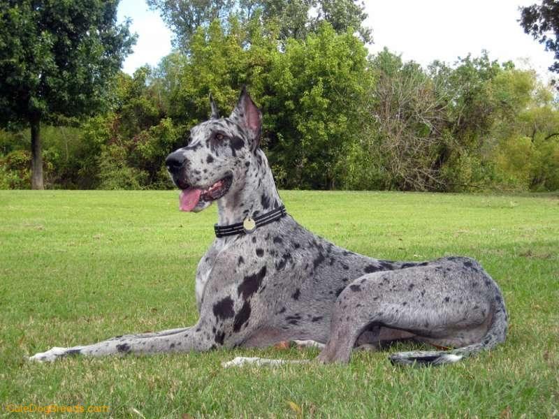 the great dane dog