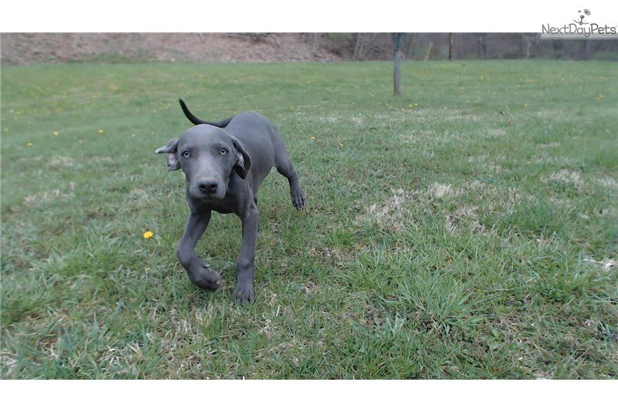 Little Lady Weimaraner puppy for sale near Pittsburgh