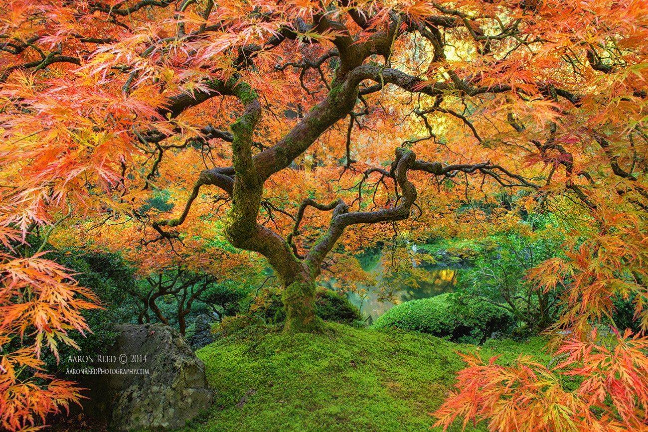 Firebird - Japanese Maple Portland Japanese Garden by Aaron Reed on ...