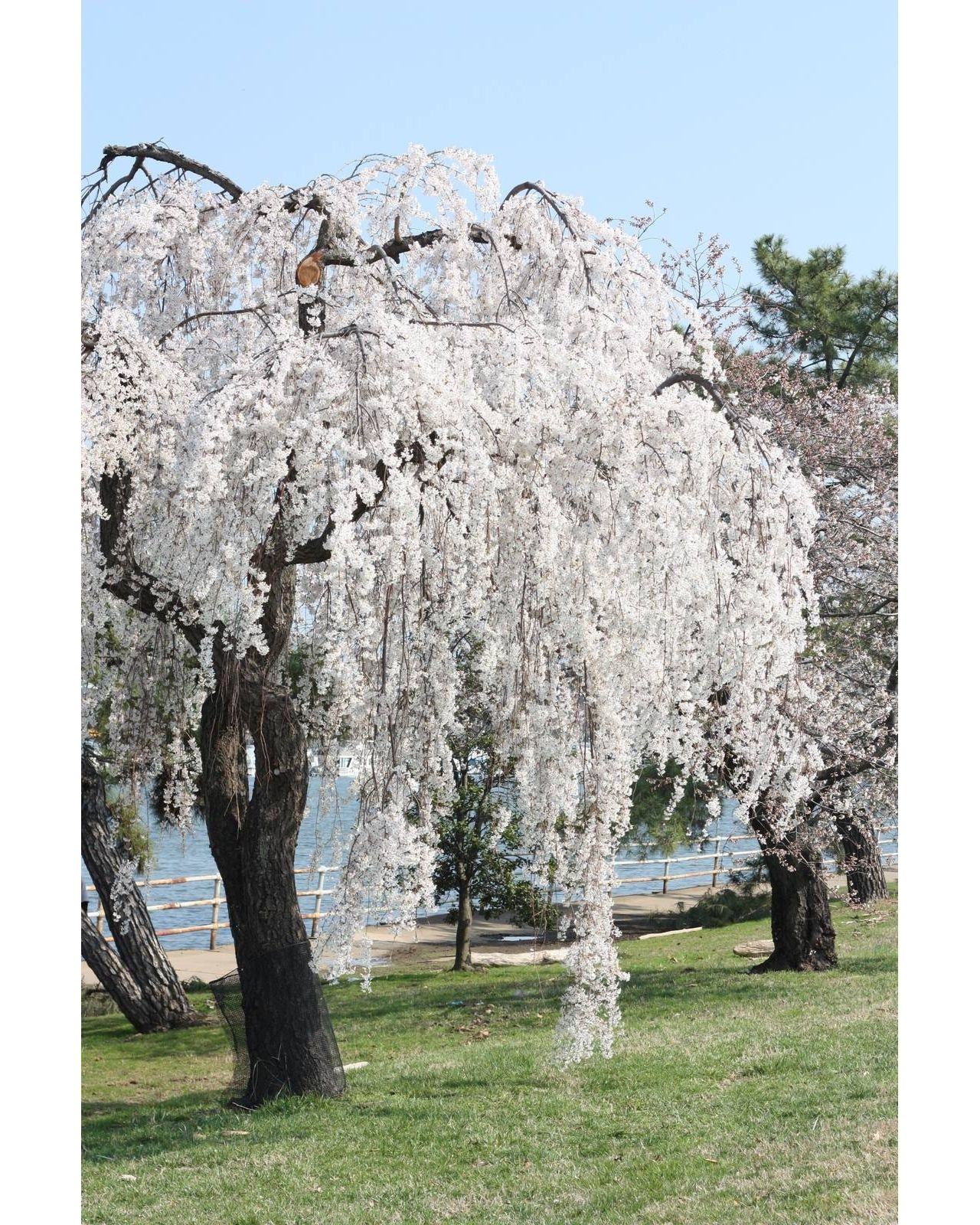 Jon Urbana On Instagram Nofilter Willow Trees Garden Weeping Cherry Tree Garden Trees