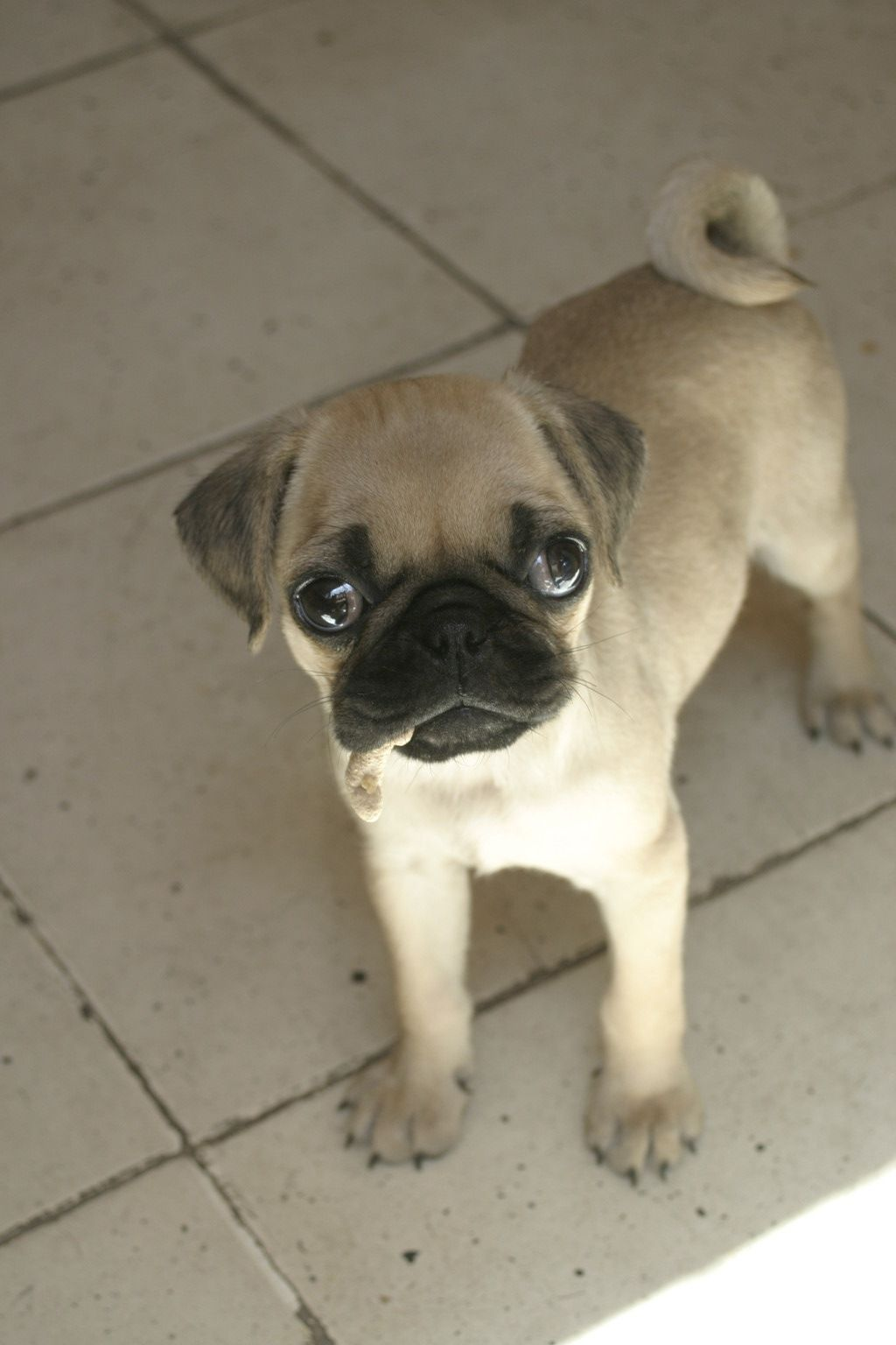 Pug Puppies Visit Our Store For Cute Items For Your Pet And For
