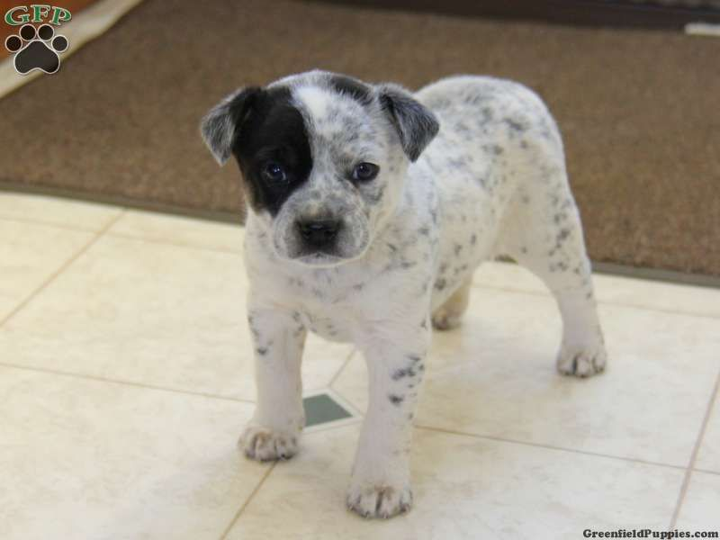 Dalmatian Pug Mix With Images Heeler Mix Greenfield Puppies