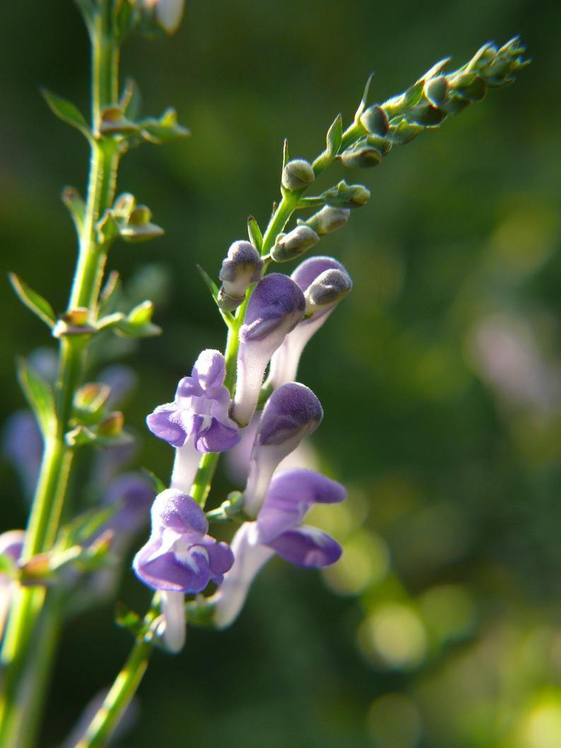 Graines De Calotte Rocaille Calotte En Virginie Scutellaria Etsy Flowers Plants Skull Cap