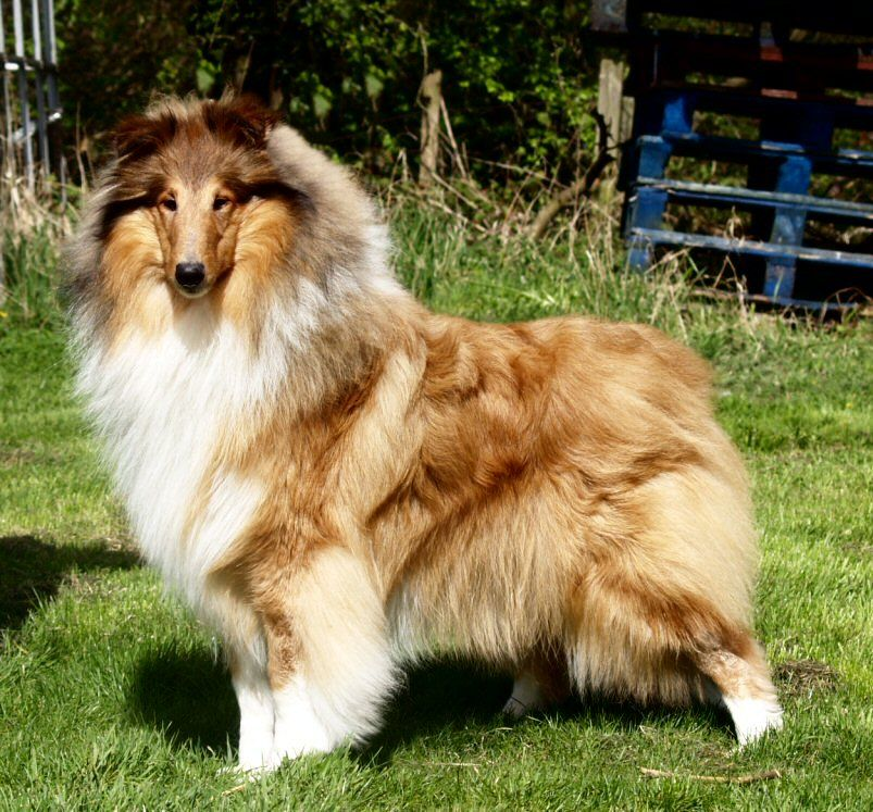 Aisling Rough Collie Collie Dog Collie
