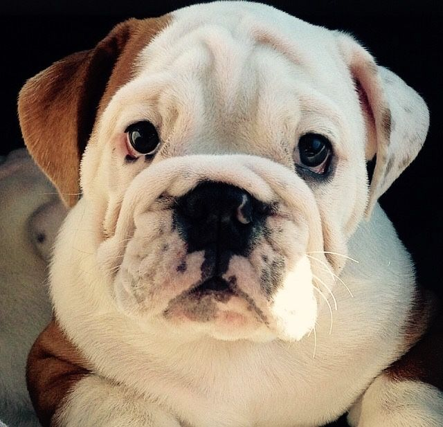 Cute English Bulldog Puppy Bulldog English Bulldog Puppies