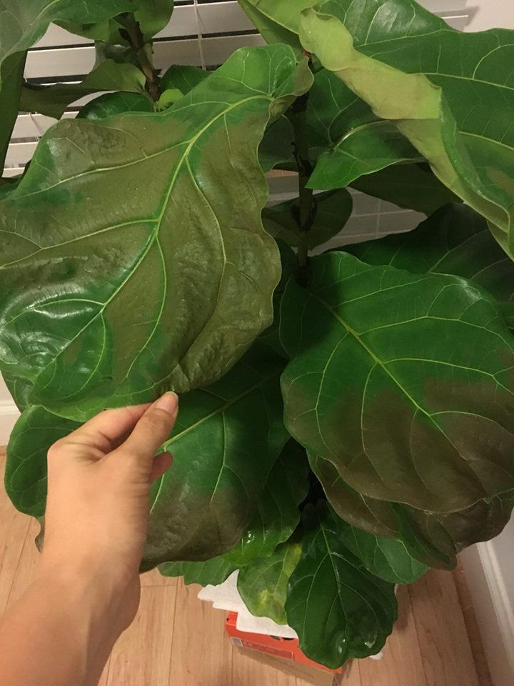 Help Fiddle Leaf Fig Turning Brown I Just Bought It Today Any Idea What S Happening Gardening Garden Diy Home Flower Fiddle Leaf Fiddle Leaf Fig Leaves