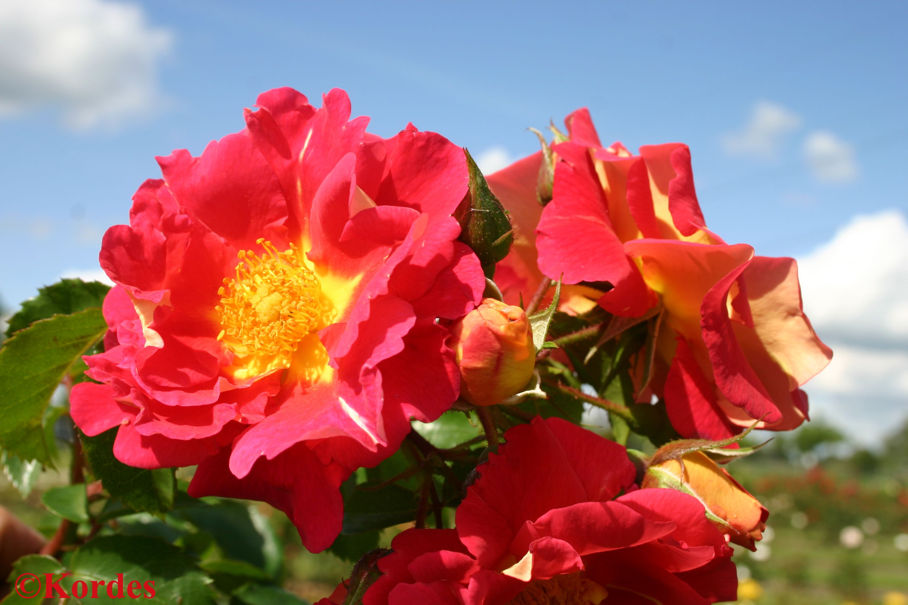 From The Arborose Collection From Kordes Bajazzo Is A Color Intense Climbing Rose That Is Sure To Grab Your Atten Climbing Roses Planting Roses Heirloom Roses