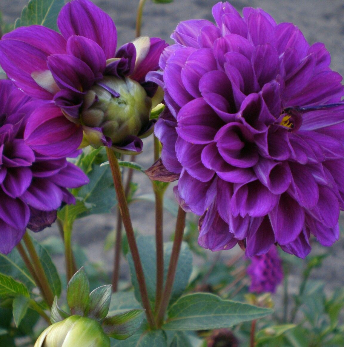 Pin by mary j on kwiaty pinterest flowers dahlia and gardens coloring book purple things flower photos daisies dahlia pretty flowers pictures floral gardening izmirmasajfo