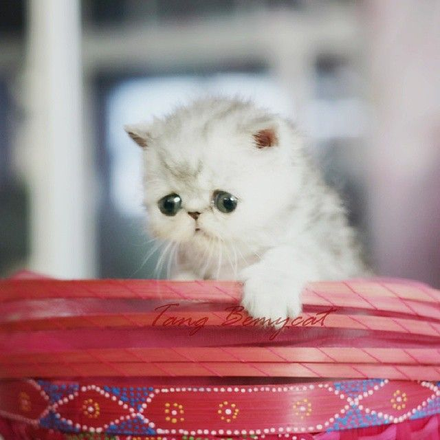 Cute flat faced friends. Persian kitty http://instagram.com/p/yLq1MkxbdP/