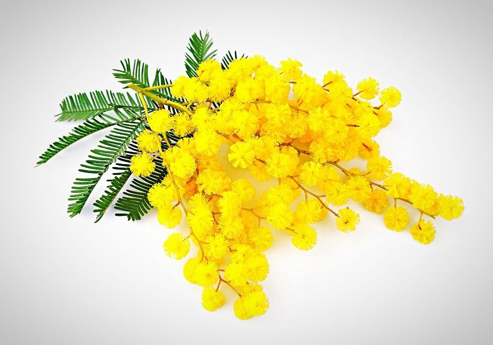 Mimosa Floral Wax Moringayoung Candle Making Fragrance Mimosa Flower Mimosa Candle