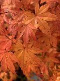 Acer palmatum 'Columnar' Japanese Maple
